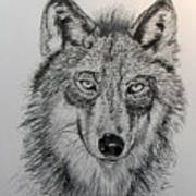 Timber Wolf Print by Stan Hamilton