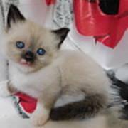 Tiny Micro Version Of Red White And Ragdoll Kitty Kitten Baby Cat Silktapestrykittenstm Art Print