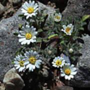 Tiny White Flowers In The Gravel Art Print