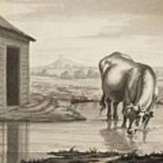 Title A Cow Standing In A Pool Beside  Art Print