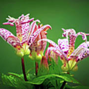 Toad Lilies Art Print