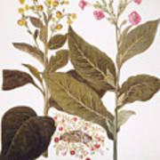 Tobacco Rustica, 1613 Art Print