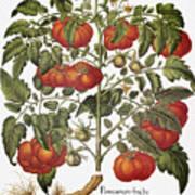 Tomato, 1613 Art Print