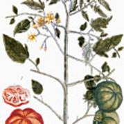 Tomato Plant, 1735 Art Print