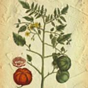 Tomato Plant Vintage Botanical Art Print