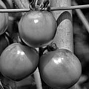 Tomatoes On The Vine Bw Art Print