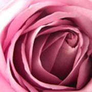 Toni's Rose  Art Print