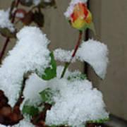 Too Soon Winter - Yellow Rose Art Print
