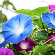 Top Of The Morning Glories Art Print
