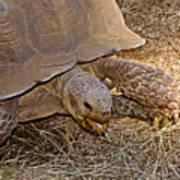 Tortoise Eating Lunch In Living Desert Zoo And Gardens In Palm Desert-california  Art Print