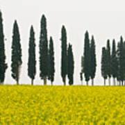Toscana Cypresses Art Print