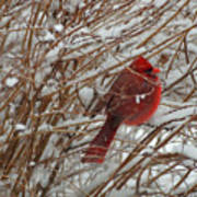 Touch Of Red For An Icy Morning Art Print