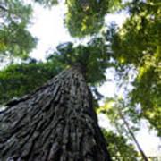 Towering California Redwood Trees Art Print