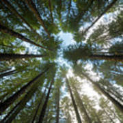 Towering Fir Trees In Oregon Forest State Park Art Print