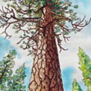 Towering Ponderosa Pine Art Print