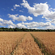 Tracks Through Wheat Field Art Print