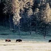 Trail Of Bulls Art Print