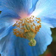 Translucent Blue Poppy Print by Carol Groenen