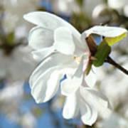 Tree Floral Garden White Magnolia Art Print
