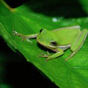 Tree Frog On Hibiscus Leaf Art Print