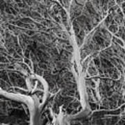 Tree Near Wawona Art Print