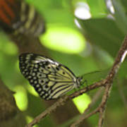 Tree Nymph Butterfly Sitting On A Tree Branch Art Print