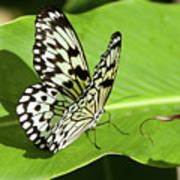 Tree Nymph Butterfly Art Print