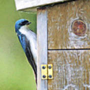 Tree Swallow At Nesting Box Art Print