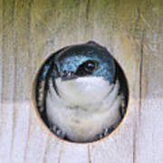 Tree Swallow In Nest Box Art Print