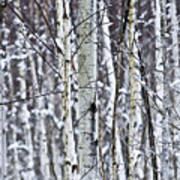 Tree Trunks Covered With Snow In Winter Art Print