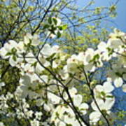 Trees Sunlit White Dogwood Art Print Botanical Baslee Troutman Art Print