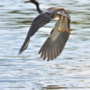 Tri Colored Heron Over The Pond Art Print