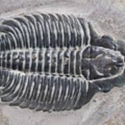 Trilobite Art Print