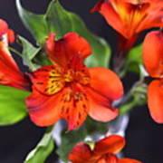 Trio Of Alstroemeria Inca Flowers-4 Art Print