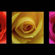 Triptych Roses Art Print