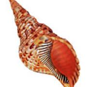 Triton Shell On White Vertical Art Print