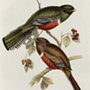 Trogon Collaris Art Print by John Gould