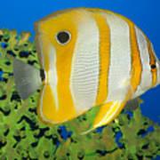 Tropical Fish Butterflyfish. Art Print