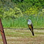 Tropical Kingbird Art Print