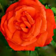 Tropicana  Rose Art Print