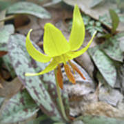 Trout Lily Wildflower - Erythronium Americanum Art Print