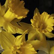Trumpet Daffodils Art Print