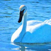 Trumpeter Swan Impressions Art Print