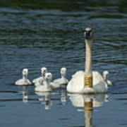 Trumpeter Swan With Cygnets Art Print