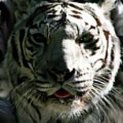 Tryptic Tiger Art Print