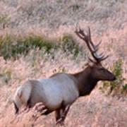 Tule Elk Bull In Grassland Meadow Art Print