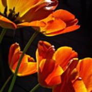 Tulip 38 Art Print