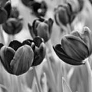 Tulip 84 Art Print