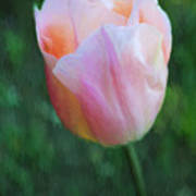 Tulip Apricot Beauty Art Print