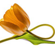 Tulip Art On White Background Art Print